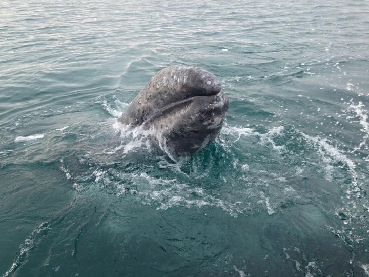 Balene a Guerrero Negro