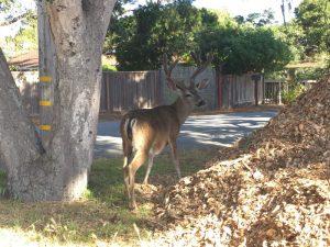 Pacific Grove | Cervo in libertà