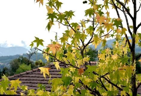 Liquidamber_autunno